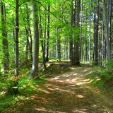 Trees in the forest. Pathway to Poiana Brasov Stock Image