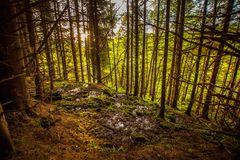 Trees in forest. Pine trees growing on hillside in forest Royalty Free Stock Photos
