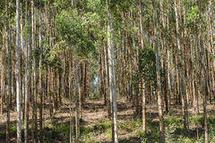 Trees Forest Plantation Stock Photography