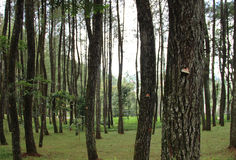 Trees in the Forest. Puncak, Bogor, Indonesia royalty free stock image