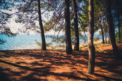 Trees in the forest on the sea. Trees in the forest, on the Black Sea Stock Images