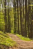 Background of trees in forest in the spring royalty free stock photo