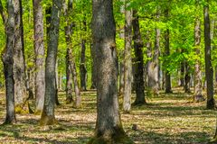 Trees in forest spring time. Trees in the forest spring time, foliage and green leaves royalty free stock photography