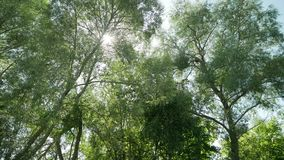 Trees in the forest on a summer day. Morning in the summer forest stock video footage