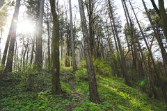 Trees in a forest Stock Image