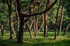Trees in a forest Royalty Free Stock Image