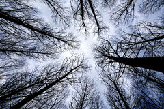 Trees in forest at sunrise view from below. Trees in a forest at sunrise view from below Stock Image