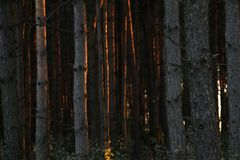 Mysterious forest before sunset stock photo