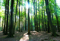The trees in a forest and in  sunshine Stock Images