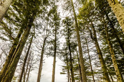 Trees in a forest. Thin-long trees in a forest from a look-up aspect Stock Image