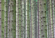 Trees in forest. Trunks of trees in the forest Royalty Free Stock Photo