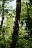 Trees in the forest. Trunks of trees in the forest with green leaves Stock Photos