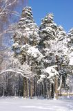 Trees in the forest under snow in the winter forest Royalty Free Stock Images