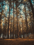 Trees in the forest Royalty Free Stock Images