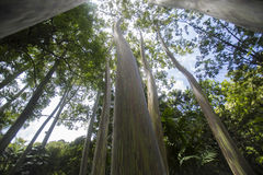 Trees in the Forest. Wide angle view of trees in a tropical forest Royalty Free Stock Photos