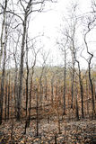 Trees in the forest after wildfire Royalty Free Stock Images