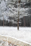 Trees in forest in winter frost Stock Photography