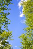 Trees framing blue sky. Foliage of green trees in springtime framing blue sky stock photo
