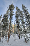 Trees in Fresh Snow, Wyoming Royalty Free Stock Image