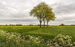 Trees with fresh young green budding leaves in a Dutch polder la Stock Photography