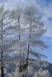 Trees with frost Royalty Free Stock Photo