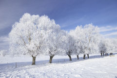 Trees in frost. Row of trees in frost and landscape in snow against blue sky. Winter scene Stock Images
