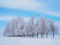 Trees with frost on branches Royalty Free Stock Photography