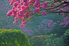 Trees in Full Bloom with Pink Flowers Royalty Free Stock Image