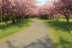 Trees with full bloom in spring Royalty Free Stock Image