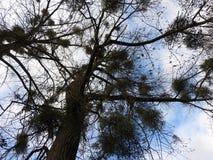 Trees full of mistletoe, seen from below stock image