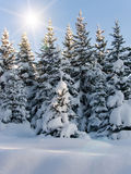 Trees  fur-tree  winter Royalty Free Stock Images