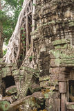 Trees and galleries in Ta Prohm Temple, Cambodia. Stock Image