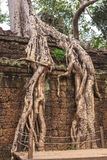 Trees and galleries in Ta Prohm Temple, Cambodia. Tower, huge trees and galleries at sunny morning in Ta Prohm Temple, Siem Reap, Cambodia Stock Photos