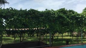 Trees in garden. Green trees at garden in Can Tho city, southern Vietnam stock video