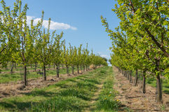 Trees in garden in rows. Agriculture concept Stock Photography