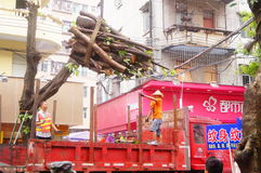 The trees in the garden workers handling typhoon toppled stock images