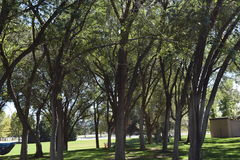 Trees. Gathered together at the park Stock Photography