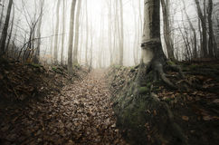 Trees with giant roots in mysterious forest with fog Stock Images