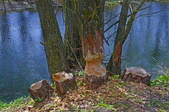Trees gnawed by beavers Stock Photo