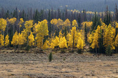 Trees of gold. Group of aspens turning bright yellow against green pine trees royalty free stock photo