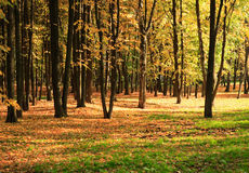 Trees in gold fall Royalty Free Stock Photography