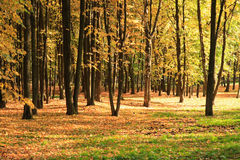 Trees in gold fall Royalty Free Stock Image