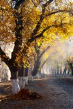 Trees in golden foliage on streets. Beautiful autumn scenery on old town Uzhgorod, Ukraine Royalty Free Stock Photos