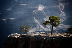 Trees in the Grand Canyon Royalty Free Stock Photos
