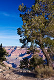 Trees of the Grand Canyon Royalty Free Stock Photography