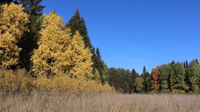 Trees among a grass on a forest glade in the fall. Trees among a grass on a  glade in the fall stock video footage