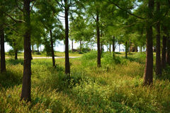 Forest trees grass path in a sunny day Royalty Free Stock Photography