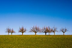 Trees on Grassland. Lined-up trees on a grass field with deep blue sky Stock Images