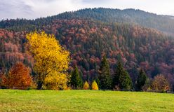 Trees on grassy meadow in autumn. Lovely scenery of a park in mountainous area. red and yellow foliage in forest Royalty Free Stock Photo