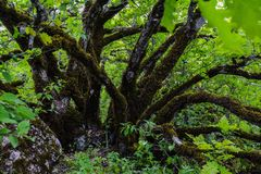 Trees in green forest, big tree. Beautiful green forest, Dense mountain wood Royalty Free Stock Photography